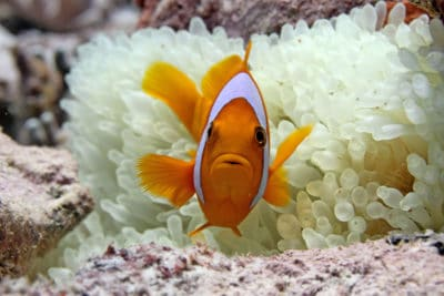 Anemonefish nestled in its bleached host, British Indian Ocean Territory. Photograph by Derek Manzello