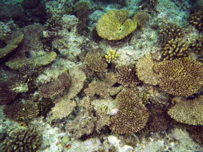 Anantara corals killed by COTS dead for a few weeks