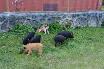 6 piggies