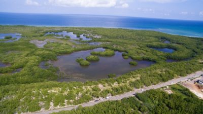 Falmouth mangrove forest, seen from the drone.