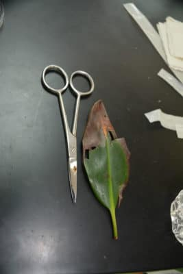 Diseased red mangrove leaf