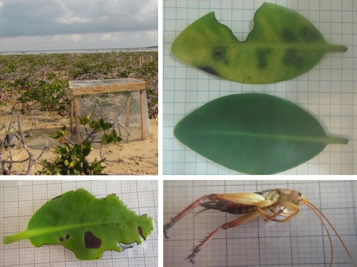 Top panel: Image of insect exclusion experiment cage and image of mimicked grazed leaf next to control leaf. Bottom panel: Image of a disease leaf and a cricket known to consume mangrove leaves.
