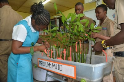 J.A.M.I.N. students at William Knibb High School mark their mangrove seedlings with flagging tape.