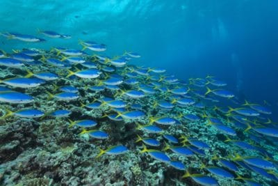 Schools of blue and yellow fusiliers (Caesio teres) roam the edge of the outer Great Barrier Reef feeding on passing plankton
