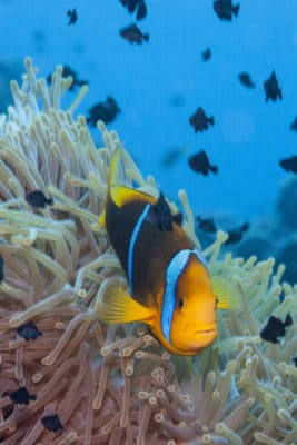 Clownfish in the Tuamotu Archipelago, French Polynesia (c)Michele Westmorland/iLCP