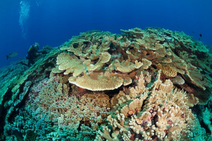 Pocillipora coral and Acropora are dominant in this reef in Gambier. ©Michele Westmorland/iLCP