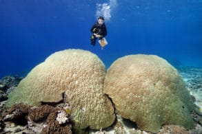Science team member posing over Porites coral heads in Tonga